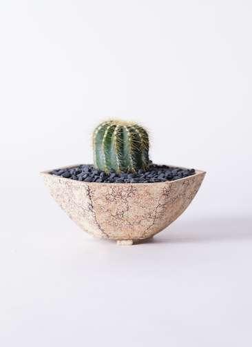 サボテン エリオカクタス マグニフィクス 3号 Type02 desert #δ 【M size】