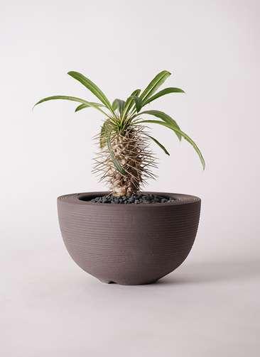 多肉植物 パキポディウム ラメリー 3号 Hemisphere 【L size】