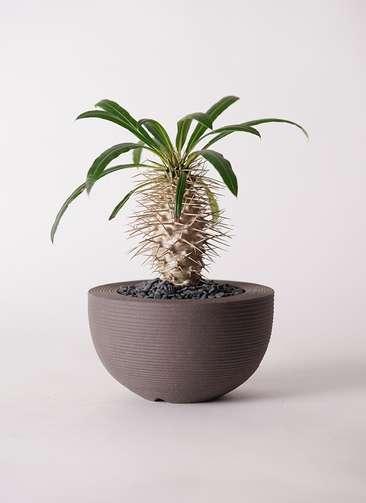 多肉植物 パキポディウム ラメリー 3号 Hemisphere 【M size】