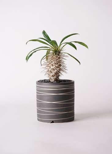 多肉植物 パキポディウム ラメリー 3号 Kross 【L size】