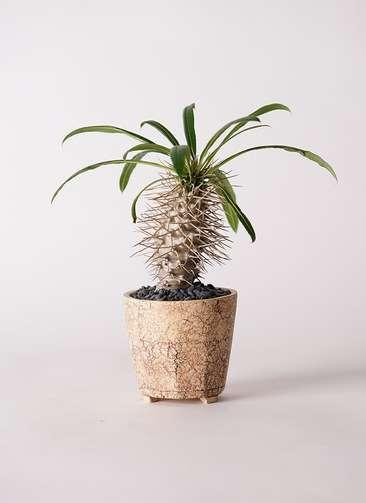 多肉植物 パキポディウム ラメリー 3号 Type02 desert #β 【M size】