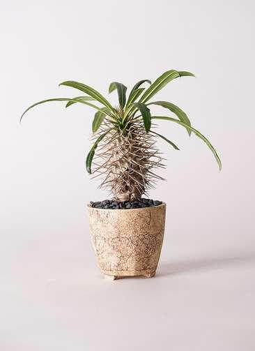 多肉植物 パキポディウム ラメリー 3号 Type02 desert #β 【S size】