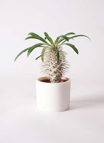 多肉植物 パキポディウム ラメリー 3号 ポリストーンミニシリンダーSホワイト 付き