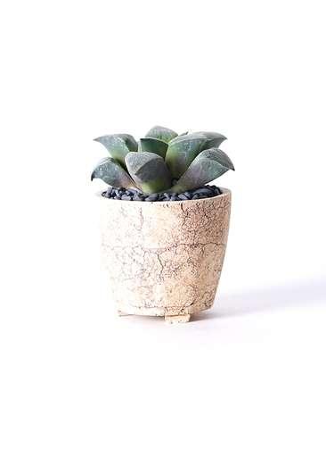多肉植物 ハオルチア レシーサ錦系 実生選抜 3号 Type02 desert #β 【S size】