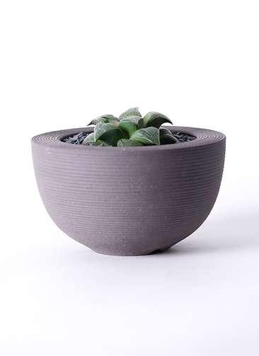 多肉植物 ハオルチア レツーサ系 実生選抜 3.5号 Hemisphere 【L size】
