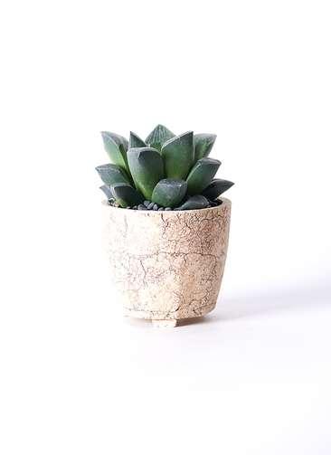 多肉植物 ハオルチア レツーサ系 実生選抜 3号 Type02 desert #β 【S size】