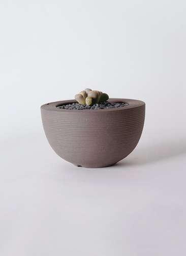 多肉植物 リトープス 灰色 3号 Hemisphere 【L size】