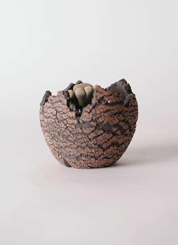多肉植物 リトープス 灰色 3号 Type01 fang 【S size】
