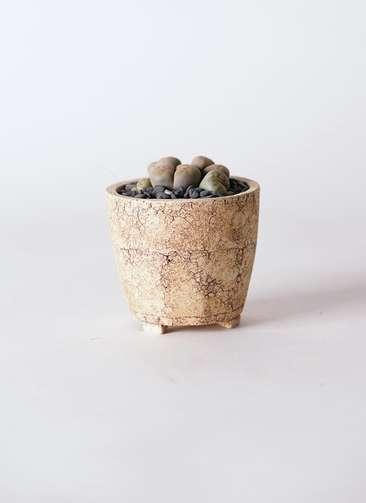 多肉植物 リトープス 灰色 3号 Type02 desert #β 【S size】