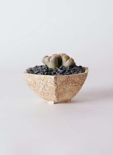 多肉植物 リトープス 灰色 3号 Type02 desert #δ 【M size】