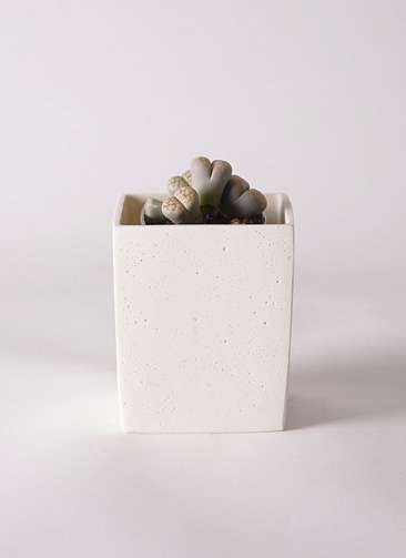 多肉植物 リトープス 灰色 3号 ポリストーンキューブSホワイト 付き