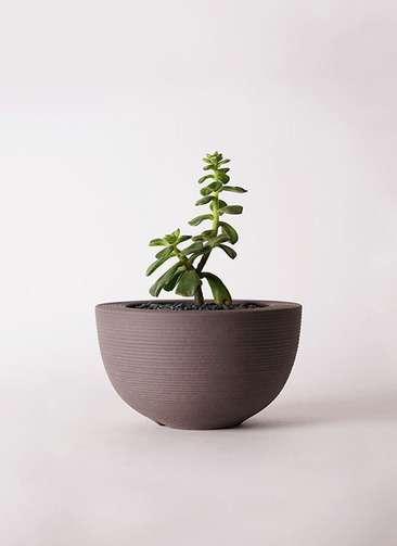 多肉植物 エケベリア 久米の舞(くめのまい) 3号 Hemisphere 【L size】