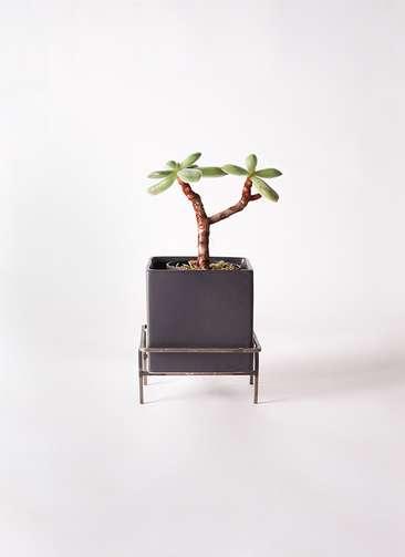 多肉植物 エケベリア 久米の舞(くめのまい) 3号 Iron Stand Pot C5303 付き