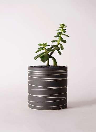 多肉植物 エケベリア 久米の舞(くめのまい) 3号 Kross 【L size】