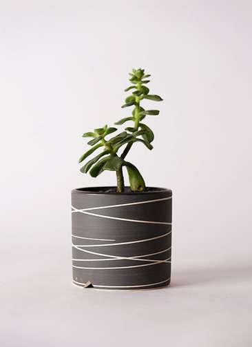 多肉植物 エケベリア 久米の舞(くめのまい) 3号 Kross 【M size】
