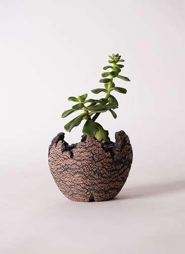 多肉植物 エケベリア 久米の舞(くめのまい) 3号 Type01 fang 【S size】