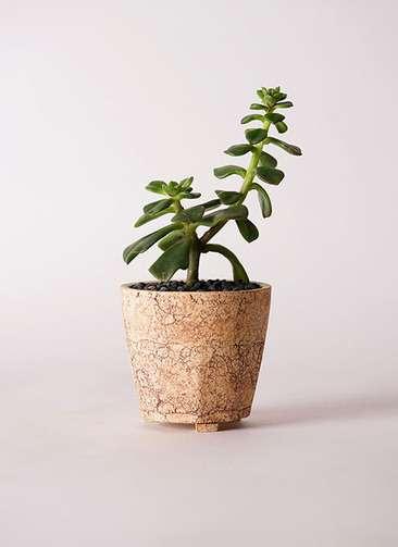 多肉植物 エケベリア 久米の舞(くめのまい) 3号 Type02 desert #β 【M size】