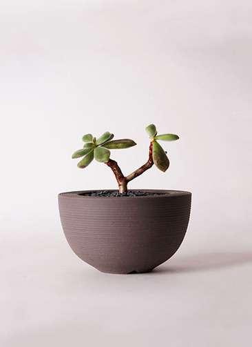 多肉植物 エケベリア 久米の里(くめのさと) 3号 Hemisphere 【L size】