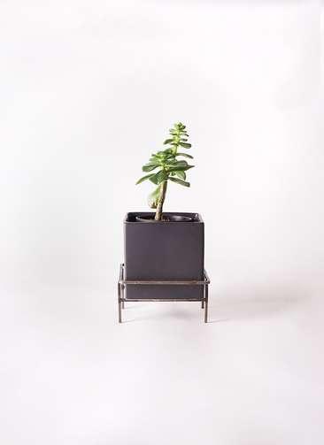 多肉植物 エケベリア 久米の里(くめのさと) 3号 Iron Stand Pot C5303 付き