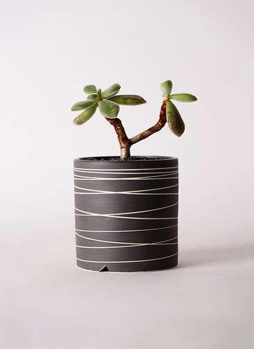多肉植物 エケベリア 久米の里(くめのさと) 3号 Kross 【L size】