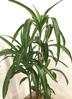 観葉植物 【120cm】ドラセナ・ハワイアンサンシャイン 8号 #22863 3枚目