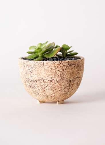 多肉植物 エケベリア 錦晃星(きんこうせい) 3号 Type02 desert #δ 【M size】