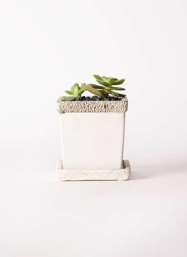 多肉植物 エケベリア 錦晃星(きんこうせい) 3号 リト キューブ3号 受け皿付き