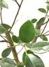 観葉植物 【80cm】 パンダガジュマル 6号 #22915 4枚目