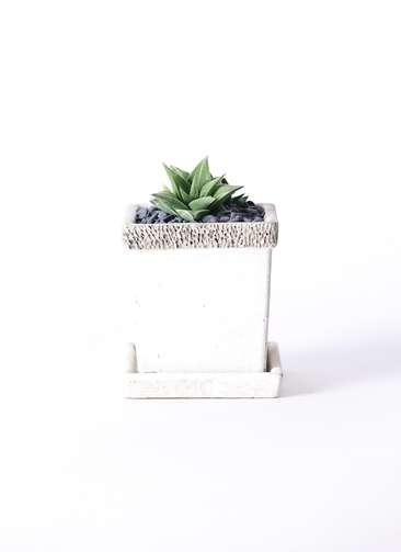 多肉植物 ハオルチア 硬葉系 緑 実生選抜 3号 リト キューブ3号 受け皿付き