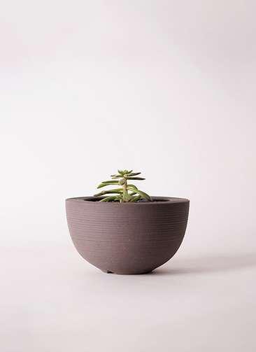 多肉植物 エケベリア 紅輝炎(こうきえん) 3号 Hemisphere 【L size】