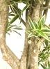 観葉植物 【1都3県 限定配送】 【220cm】 ドラセナ・グリーンソングオキナワ 10号 #23054 4枚目