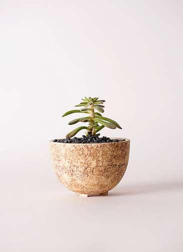 多肉植物 エケベリア 紅輝炎(こうきえん) 3号 Type02 desert #γ 【S size】