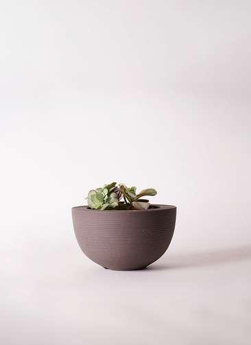 多肉植物 エケベリア 高砂の翁(たかさごのおきな) 3号 Hemisphere 【L size】