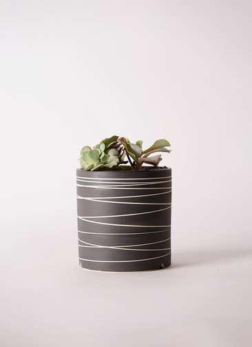 多肉植物 エケベリア 高砂の翁(たかさごのおきな) 3号 Kross 【L size】
