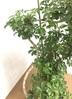 観葉植物 【1都3県 限定配送】 【145cm】 シェフレラ レナータ 10号 #23059 2枚目