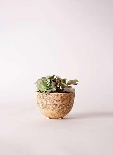 多肉植物 エケベリア 高砂の翁(たかさごのおきな) 3号 Type02 desert #γ 【S size】