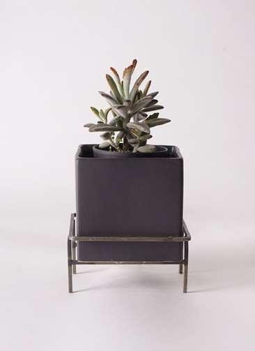 多肉植物 カランコエ 黒兎耳(くろとじ) 3号 Iron Stand Pot C5303 付き