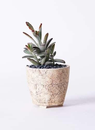 多肉植物 カランコエ 黒兎耳(くろとじ) 3号 Type02 desert #β 【S size】