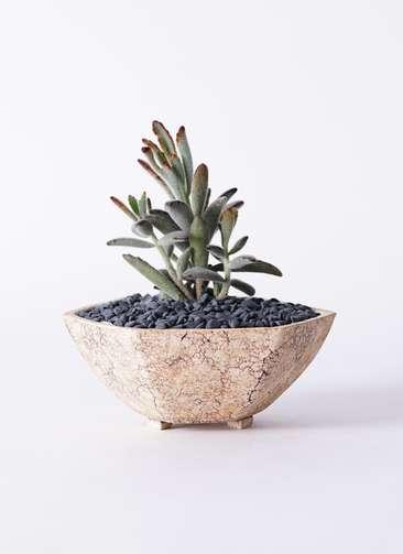 多肉植物 カランコエ 黒兎耳(くろとじ) 3号 Type02 desert #δ 【L size】