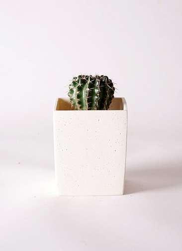 サボテン ノトカクタス 獅子王丸(ししおうまる) 2.5号 ポリストーンキューブSホワイト 付き