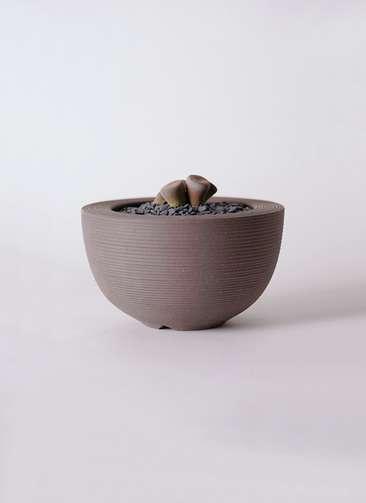 多肉植物 リトープス 紫 3号 Hemisphere 【L size】