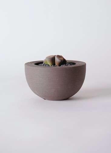 多肉植物 リトープス 紫 3号 Hemisphere 【M size】