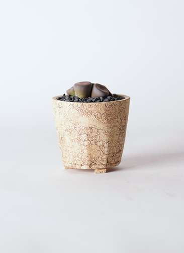 多肉植物 リトープス 紫 3号 Type02 desert #β 【M size】