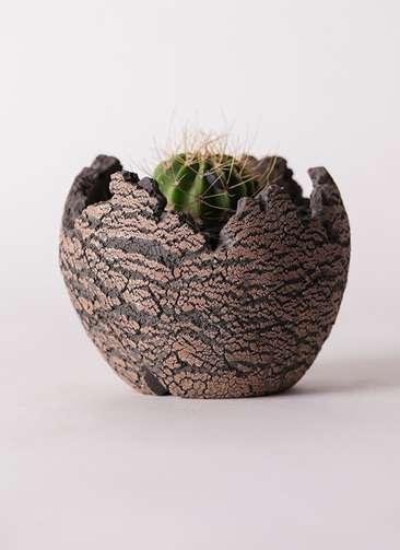 サボテン アカントカリキュウム 紫盛丸(しせいまる) 3号 Type01 fang 【S size】