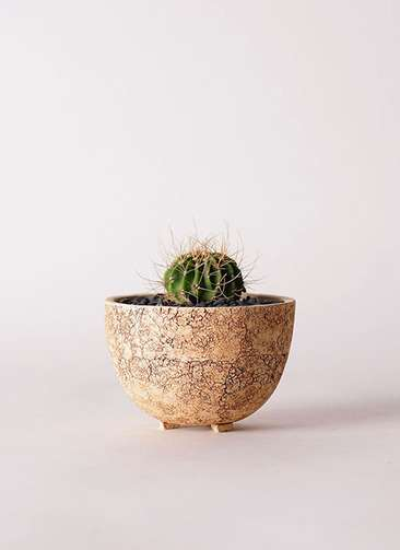 サボテン アカントカリキュウム 紫盛丸(しせいまる) 3号 Type02 desert #γ 【S size】