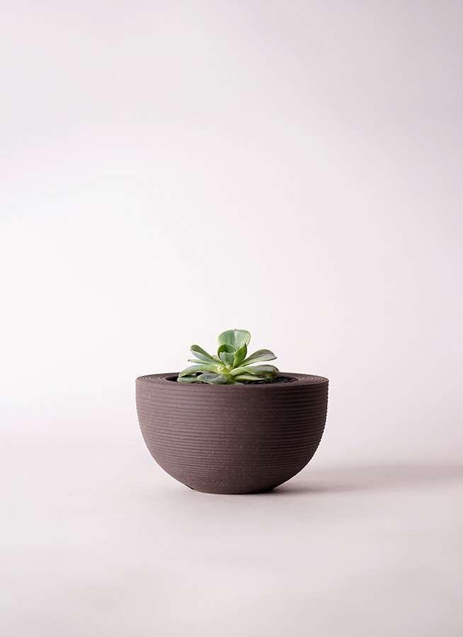 多肉植物 エケベリア 七福神(しちふくじん) 3号 Hemisphere 【M size】