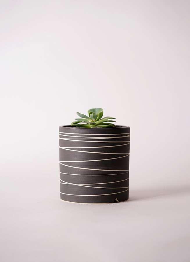 多肉植物 エケベリア 七福神(しちふくじん) 3号 Kross 【L size】