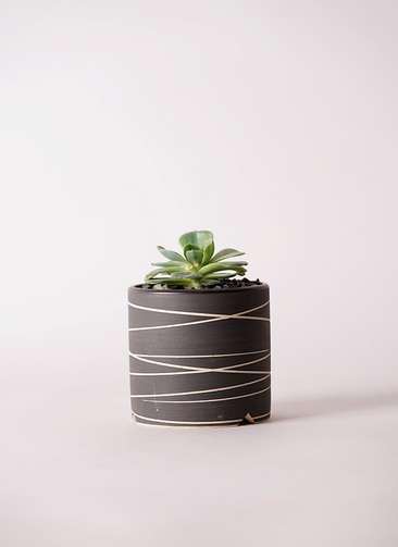 多肉植物 エケベリア 七福神(しちふくじん) 3号 Kross 【M size】