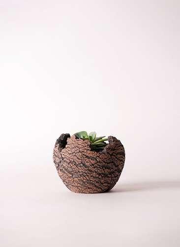 多肉植物 エケベリア 七福神(しちふくじん) 3号 Type01 fang 【S size】