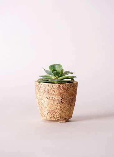 多肉植物 エケベリア 七福神(しちふくじん) 3号 Type02 desert #β 【S size】